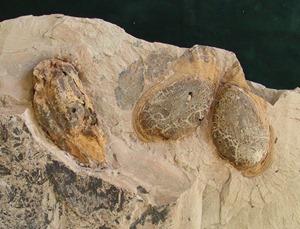 Schránky perlorodek Margarittifera