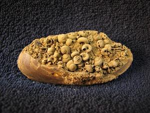 Škeble Pseudoanodonta s drobnými plži